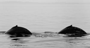 Humpback pair