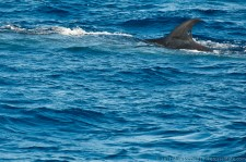 Bryde's Whale with a hole in its dorsal fin (from a tracking ID?)