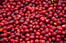 Coffee Cherries - Taste quite sweet